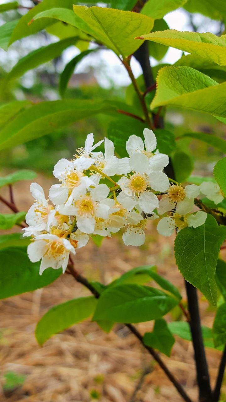 Gewone vogelkers | Prunus padus