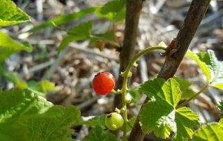 Bosaalbes | Ribes rubrum